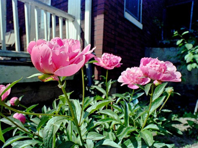 Pink Peonies Flowers in my yard 1978