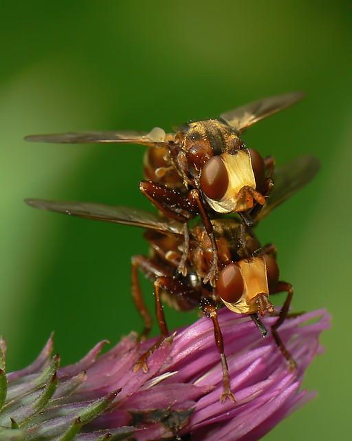 Sicus ferrugineus(Conopidae)