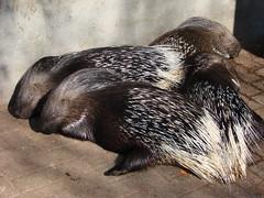 animal, porcupine, zoo, monotreme, fauna,
