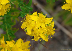 Tinker´s Penny, Hypericum anagalloides