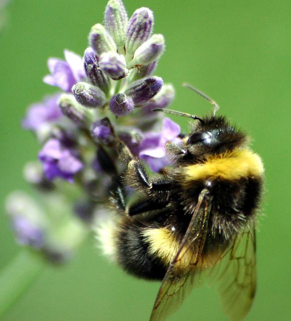 Fat Bee 25