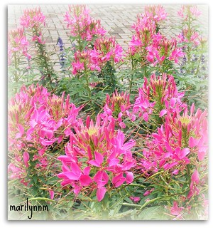 2008     Cleome! Vos plus belles Photo!   CITRIT! DIAMOND AWARD! THE WORLD IN PINK! FLOWEROTICA! GOLDEN PHOTOGRAPHS AWARD!