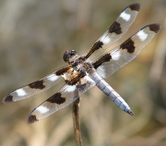 Twelve-spotted Skimmer - Photo (c) Vicki  DeLoach, some rights reserved (CC BY-NC-ND)
