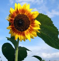 Dandelion&sunflower.