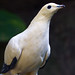 Pied Imperial-Pigeon - Photo (c) Jim Frazee, some rights reserved (CC BY-NC-ND)