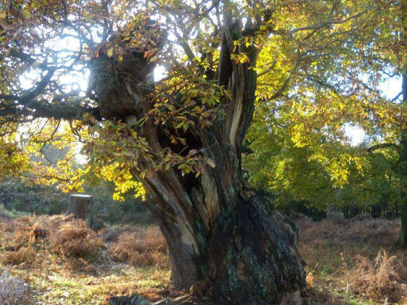 Old oak Sevenoaks Circular