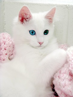 Gorgeous Little Aaron - Drop Dead Cutie Pie - Turkish Angora (Mix?)