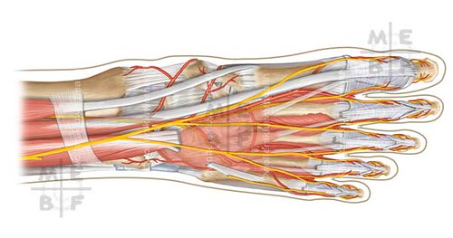 Foot Anatomy Superior View Adobe Photoshop For A