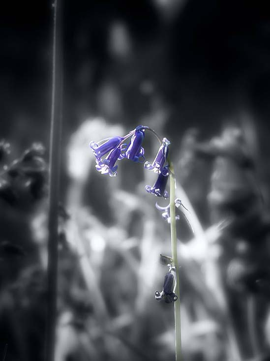 Photography - Blue Bell by Nicholas M Vivian