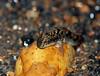Muddy the mudskipper (Periophthalmus barbarus) by Arne Kuilman