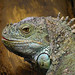 Iguanas and Chuckwallas - Photo (c) Dave Rogers, some rights reserved (CC BY-NC-SA)