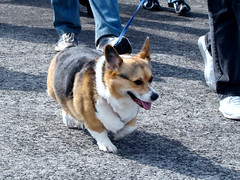 akita inu(0.0), akita(0.0), shiba inu(0.0), street dog(0.0), shikoku(0.0), east siberian laika(0.0), greenland dog(0.0), norwegian lundehund(0.0), icelandic sheepdog(0.0), dog breed(1.0), animal(1.0), dog(1.0), pet(1.0), mammal(1.0), pembroke welsh corgi(1.0), welsh corgi(1.0),