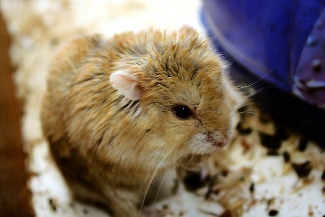 jaulas casera para Hamster