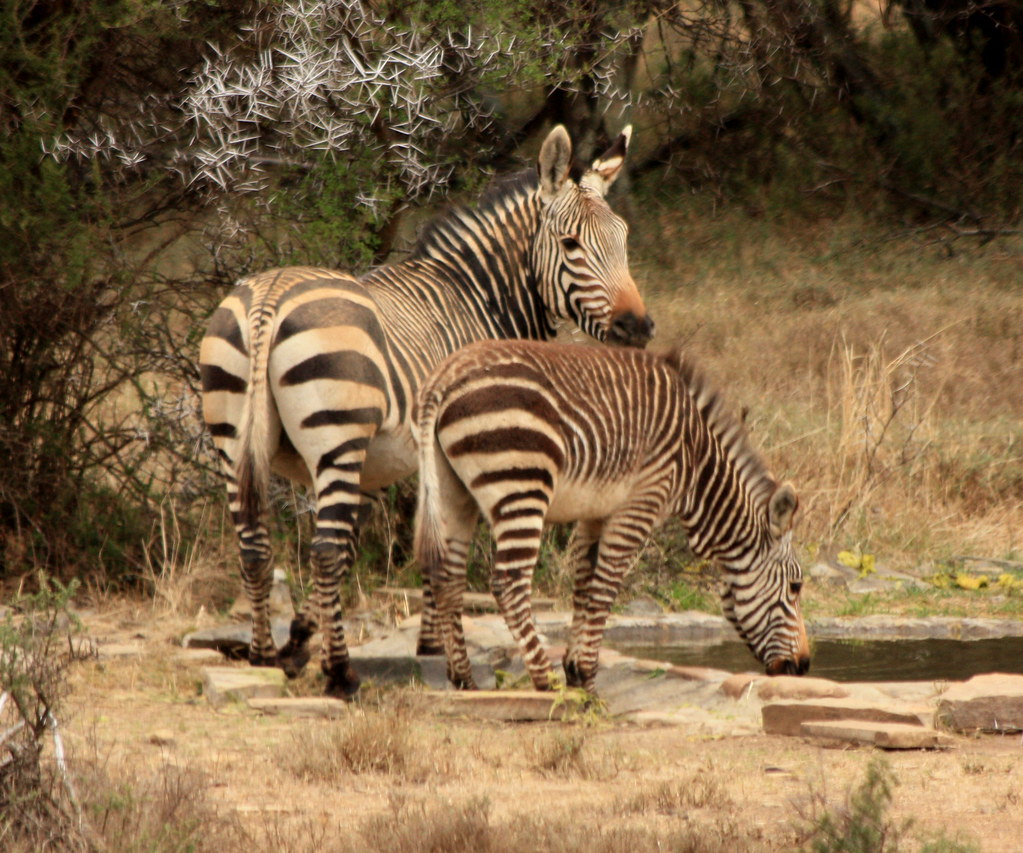 Mountain Zebras, Mountain Zebra National Park