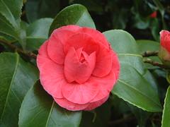 floribunda(0.0), chinese hibiscus(0.0), shrub(1.0), camellia sasanqua(1.0), flower(1.0), plant(1.0), flora(1.0), camellia japonica(1.0), theaceae(1.0), petal(1.0),