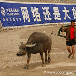Water Buffalo - Guizhou Province, China