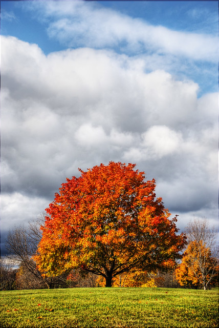 Bright red tree in autumn with white fluffy clouds
