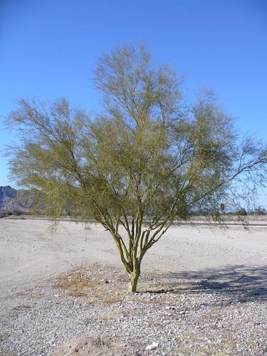 Desert Tree - Arbol en el desierto