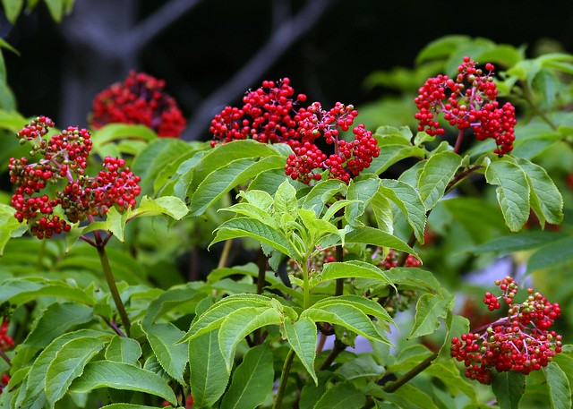 Sambucus racemosa Red Elderberry