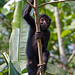 Peruvian Spider Monkey (Mike and Karen Galtry)
