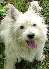dog breed, animal, berger picard, dog, pet, mammal, vulnerable native breeds, norwich terrier, cairn terrier, australian terrier, west highland white terrier, terrier,