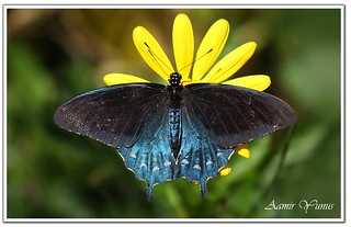 Pipevine Swallowtail Butterfly (Battus philenor )