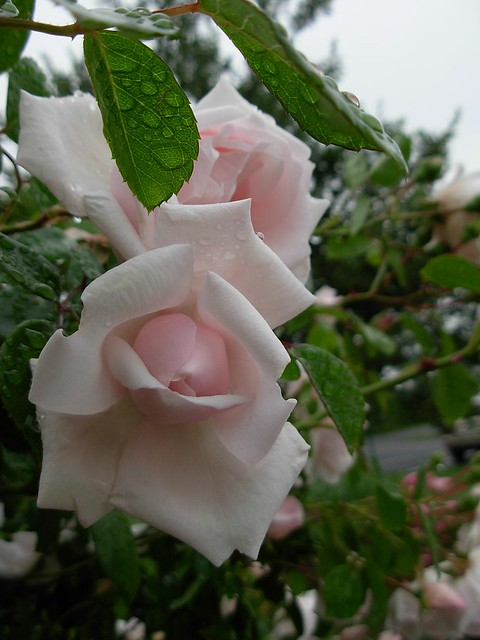 morning after deluge 7-- pink rose opening
