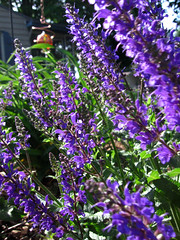 hyssopus, annual plant, flower, purple, english lavender, sage, plant, lavender, lilac, lavender, wildflower,