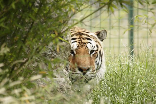 Tiger hybrid - photo#35
