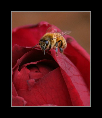 bee sitting on a rose