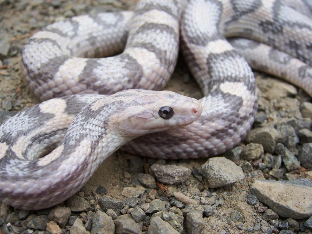 Lavender Corn Snake Hypo lavender corn snake