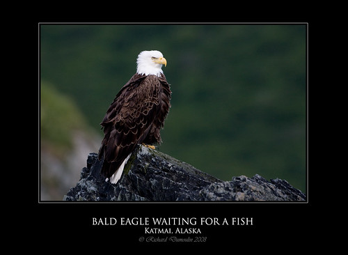 Bald Eagle on a rock - Fishing