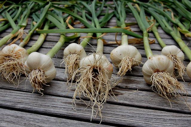 Garlic From Our Garden Drying On Outdoor Table by Eve Fox, The Garden of Eating, copyright 2008