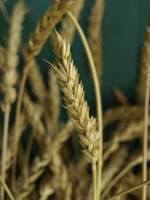 Red Fife Wheat