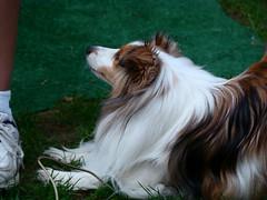 biewer terrier(0.0), papillon(0.0), dog breed(1.0), animal(1.0), dog(1.0), mammal(1.0), phalã¨ne(1.0), terrier(1.0),