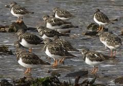 animal, charadriiformes, fauna, ruddy turnstone, red backed sandpiper, redshank, calidrid, sandpiper, beak, bird, seabird, wildlife,