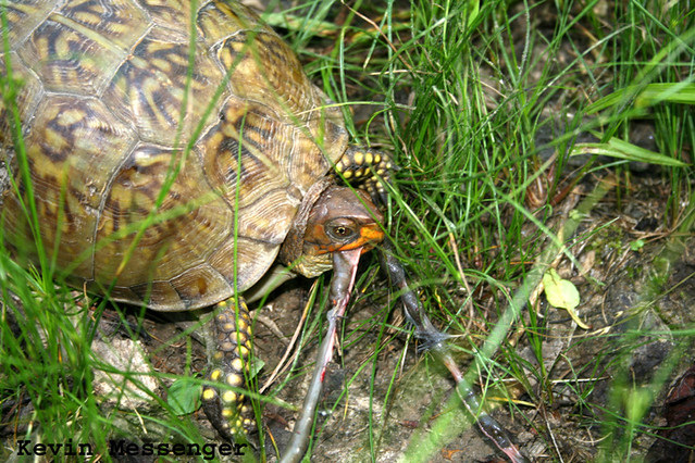 Three Toed Box Turtle Eating Carrion Flickr Photo Sharing