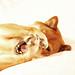 Silly Kaisa - Shiba Inu by K. Ogden Photography