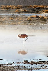 Flamingo en Aguas Calientes, Uyuni, Bolivia