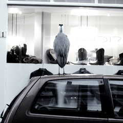 reiger on car in Amsterdam