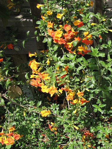 Marmalade Bush, or Orange Browallia