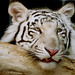 Bored White Tiger
