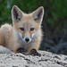Red Fox Pup(s) Morro Bay, CA 28 May 2008