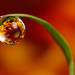 Flower dewdrop refraction #1 by Lord V