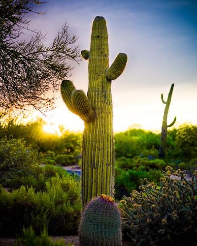 flowers cactus plants contrast cacti sunrise desert hasselblad h3d h3d31