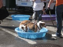Bulldog bathing, Bathing Bulldogs of West Fest
