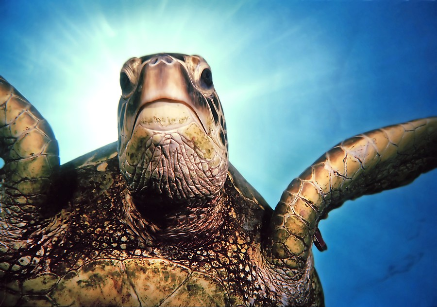 Tripod, the green sea turtle -Hi-Res-