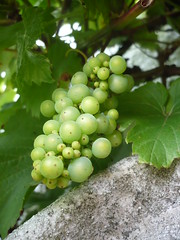 East Anglian grapes