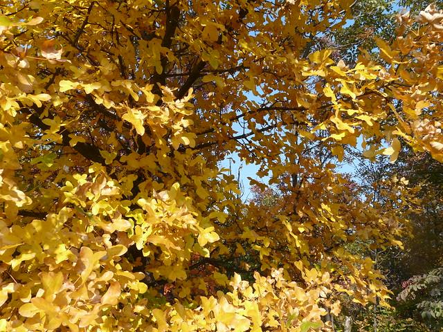 Ortensie Foglie Gialle : Foglie gialle flickr photo sharing