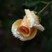 Wet Rose Bud by Chuck Hunts